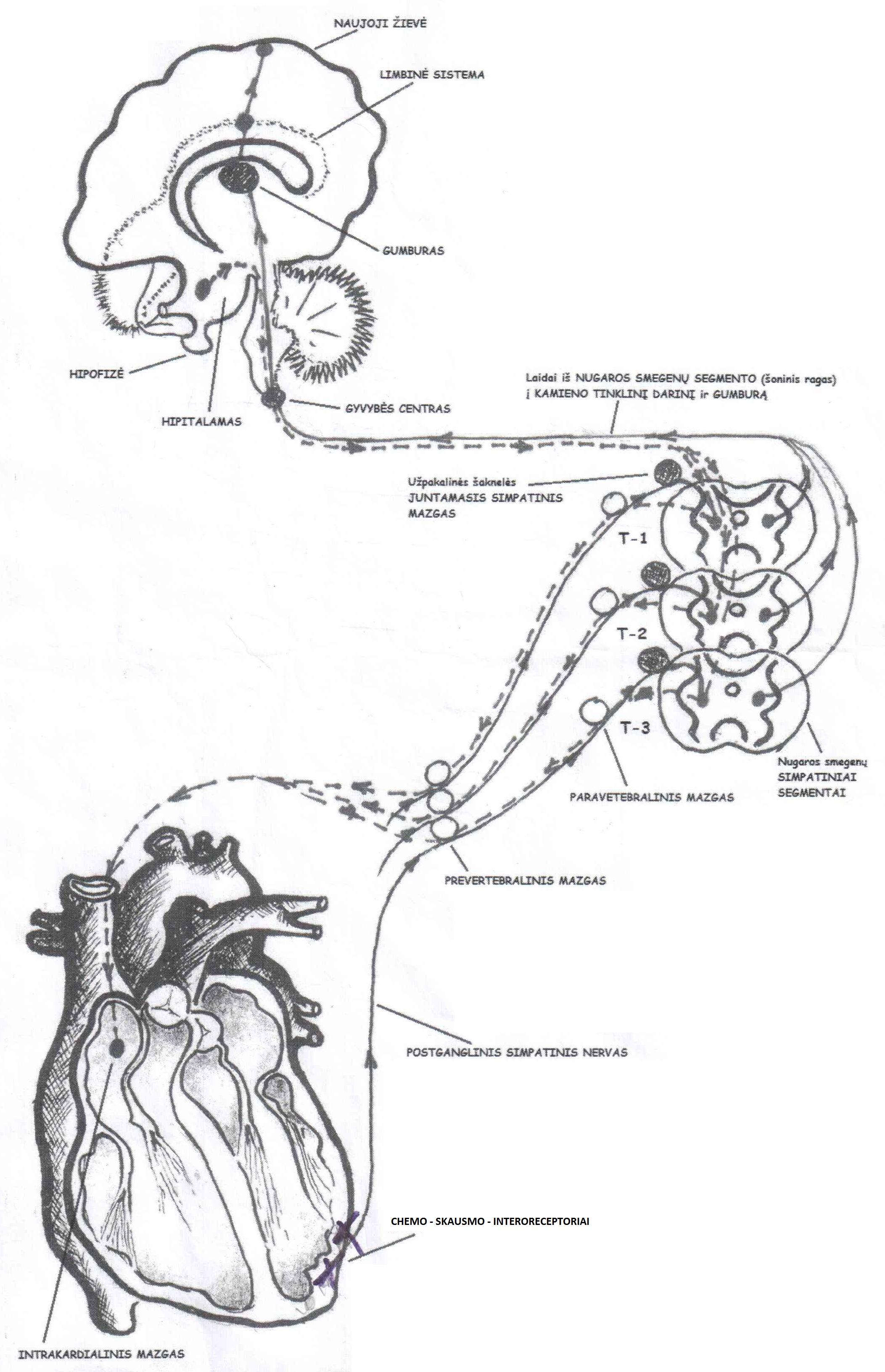 Simpatines nervu sistemos slopinimas